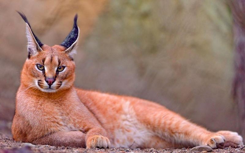 Рыжая рысь — одно из редчайших в мире животных, но это самая распространённая дикая кошка в Северной Америке.